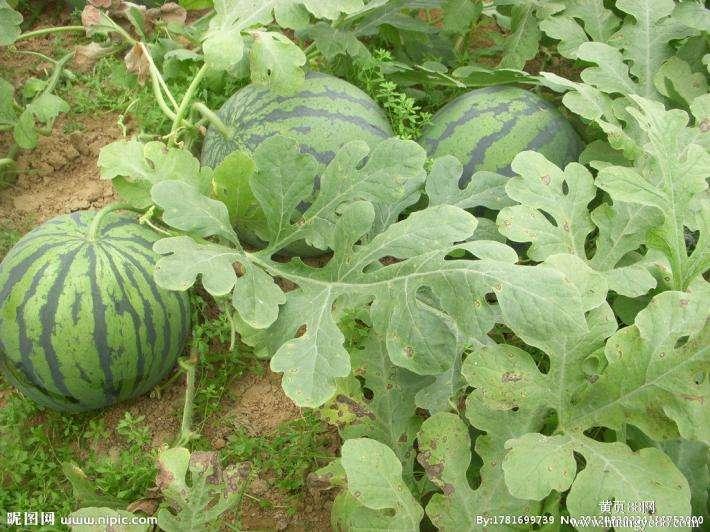西瓜农业品牌策划如何做?