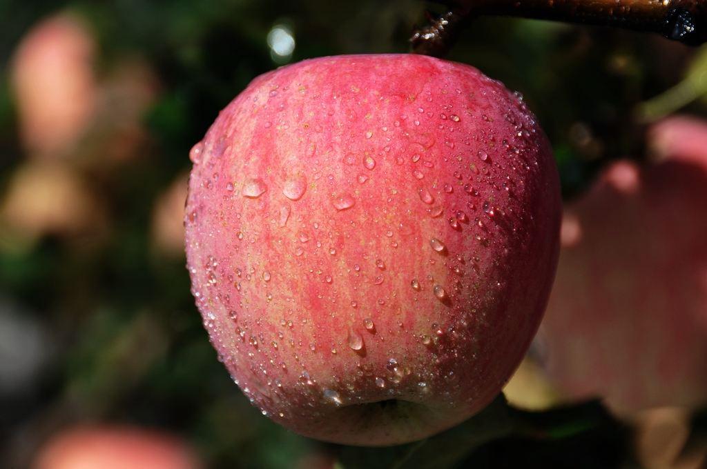 黄陵县发展种植有机苹果_提升品牌附加值